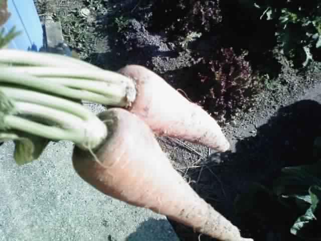 白菜が採れました